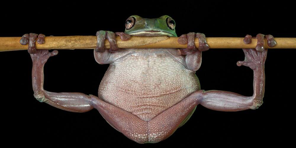 frog handing on branch with its legs spread apart